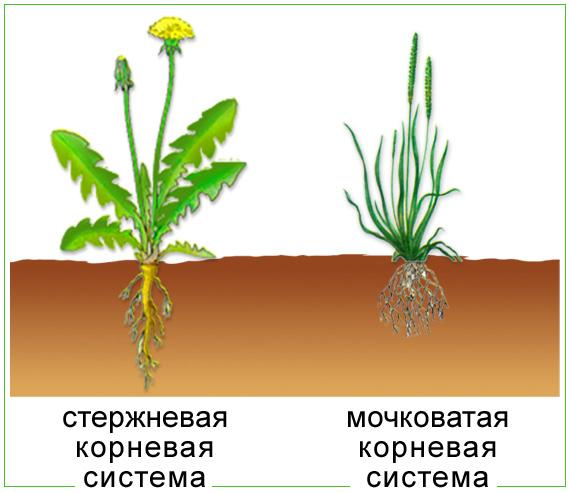 учитель биологии - Корень..