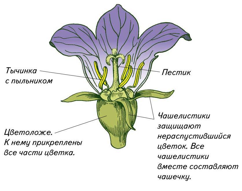 Схема цветка 6 класс 631