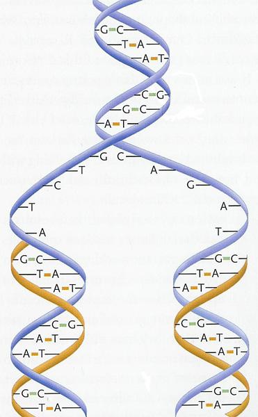 Биология для ученика и учителя - Репликация ДНК Репликация ДНК Анимация